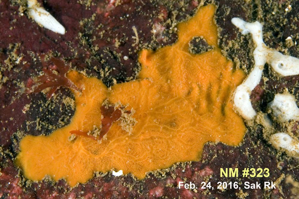NM #323 Clathria (Microciona) sp. A R.jpg