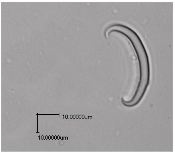 Haliclona-curved spicule.png