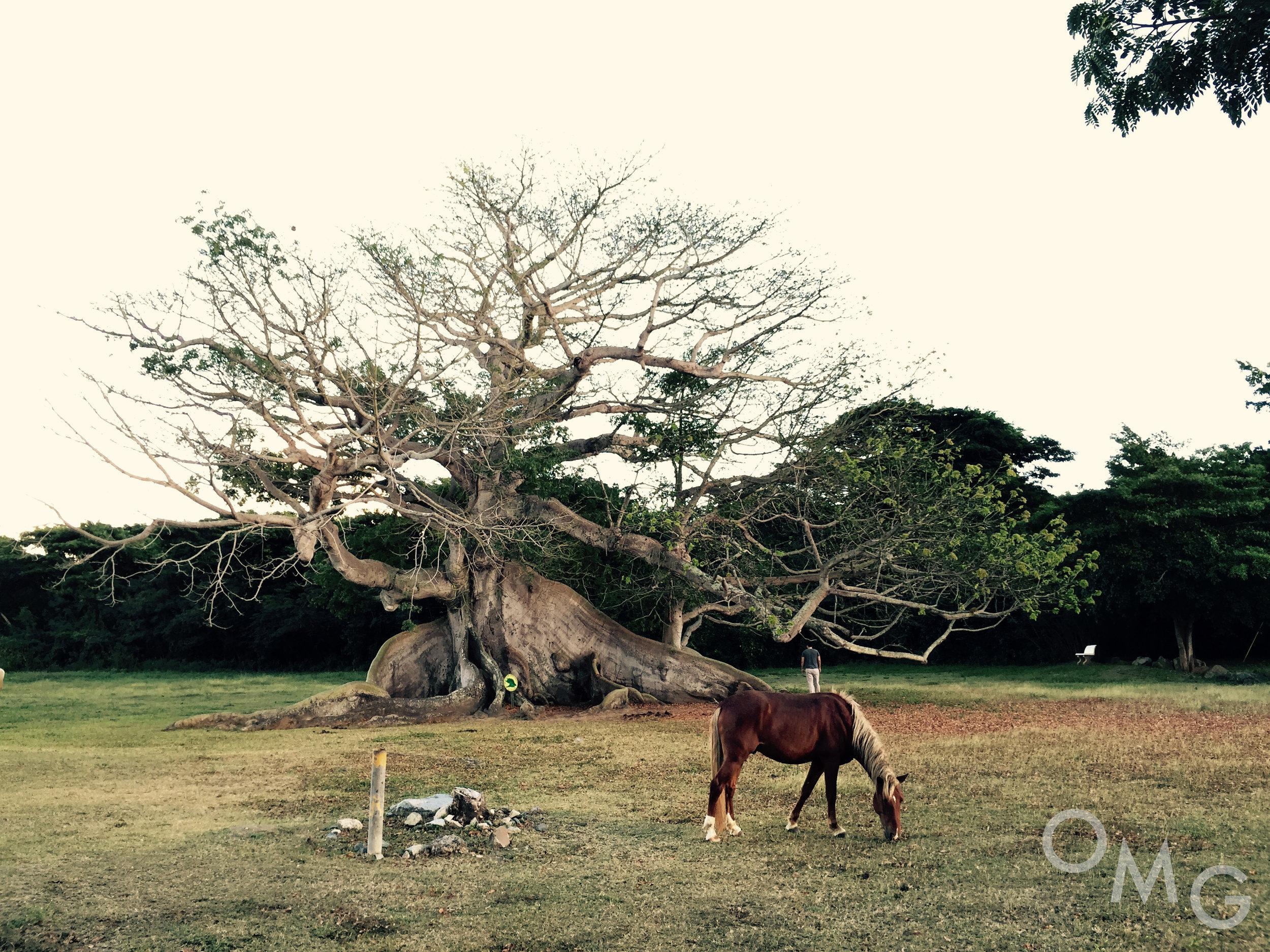 Ceiba Tree copy.jpg