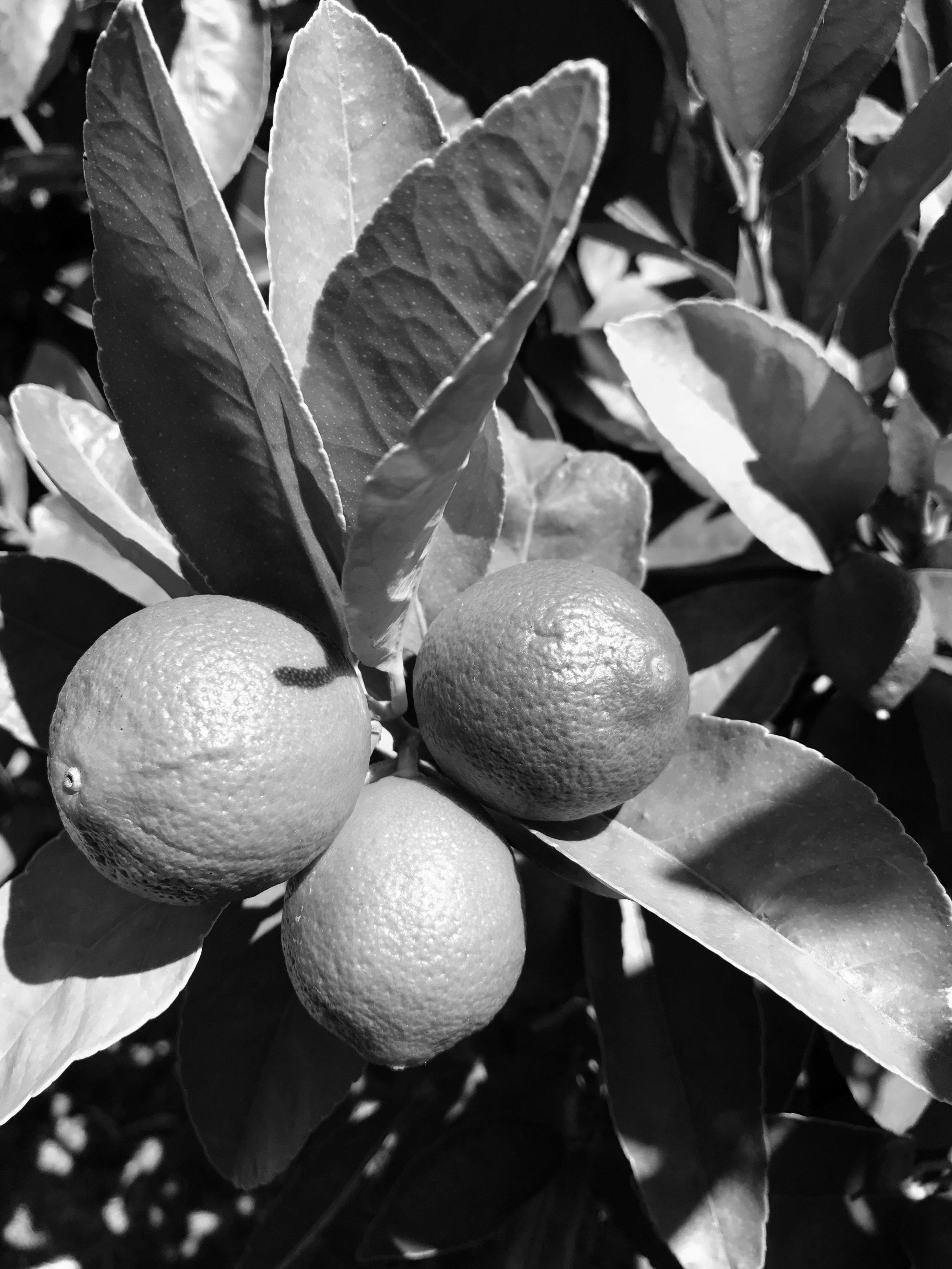 Te Puna Limes
