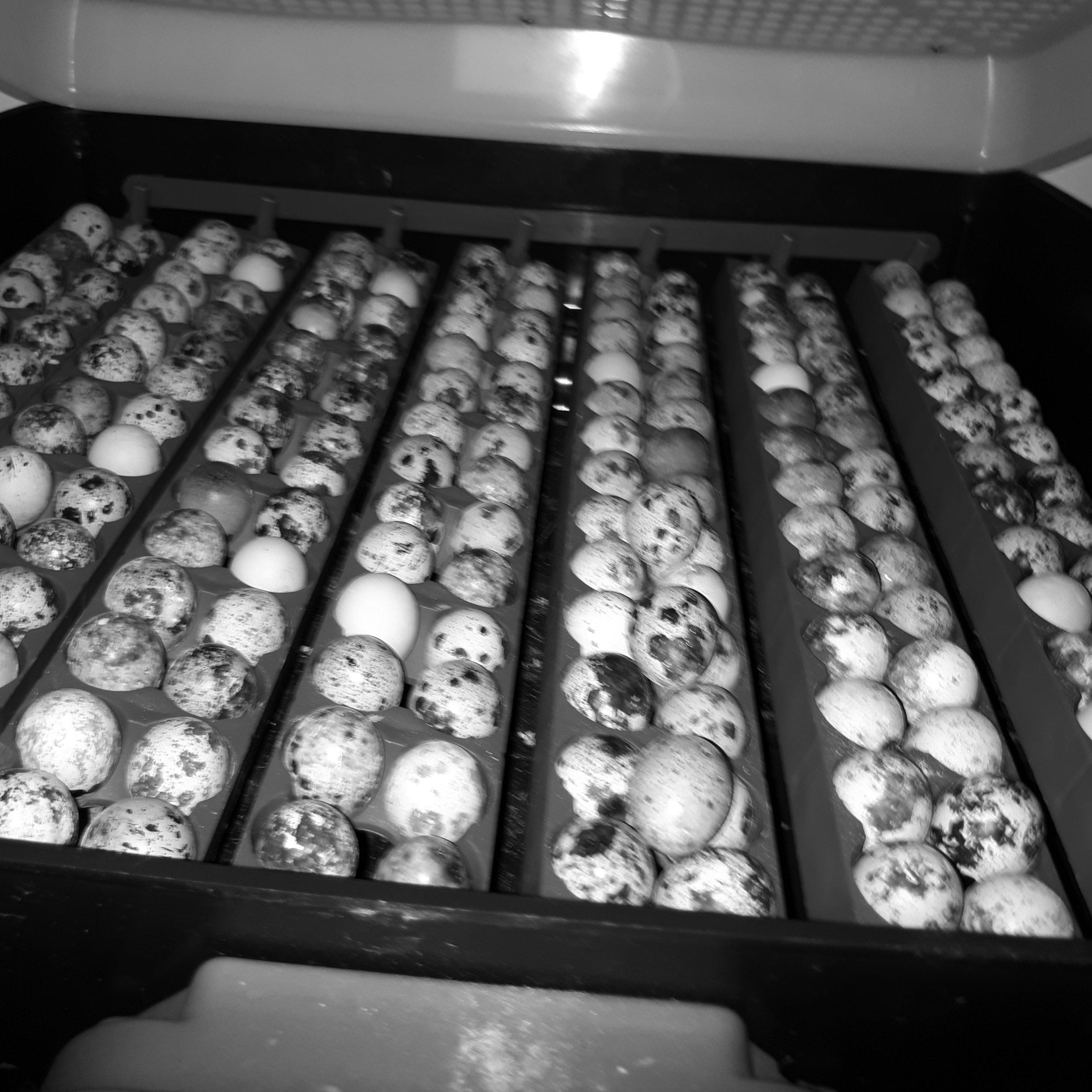 Catval Quail Eggs