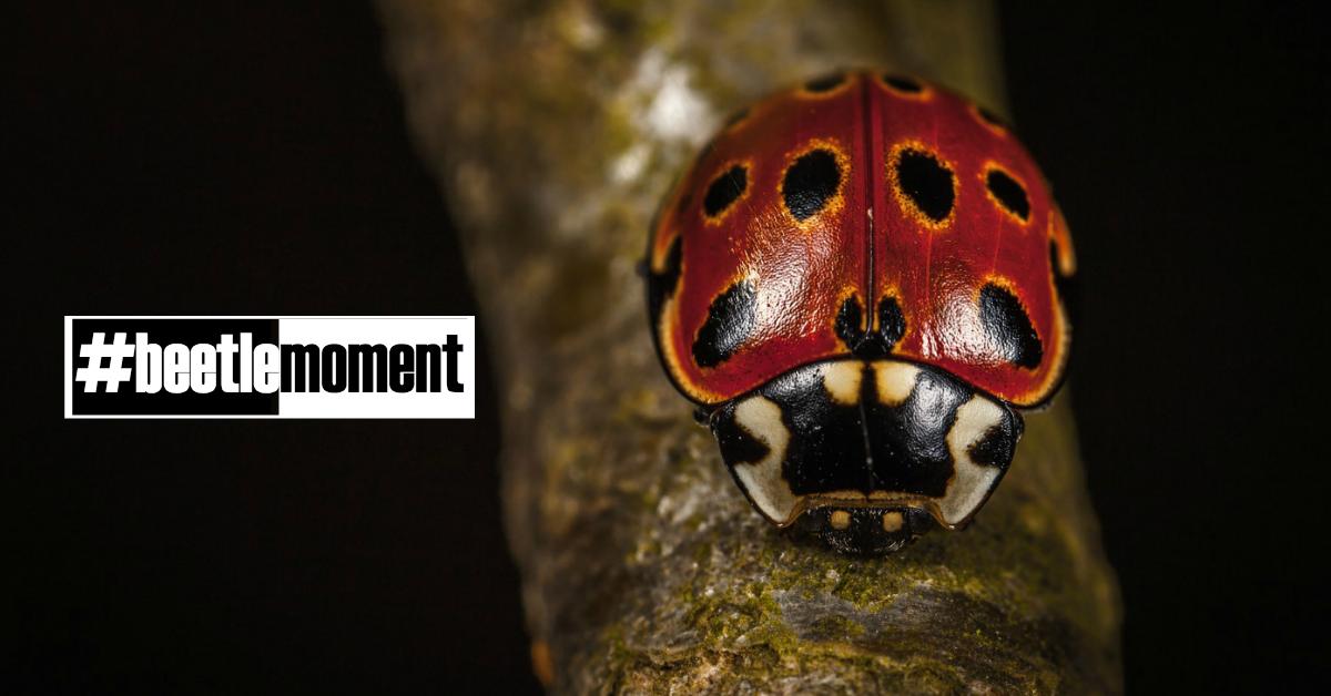 #beetlemoment ladybug