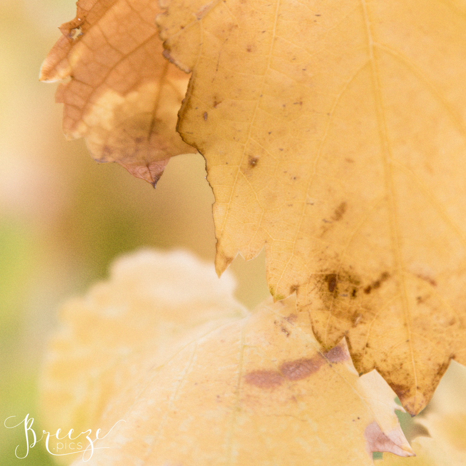 Autumn_Grape_Leaf_Study2.jpg