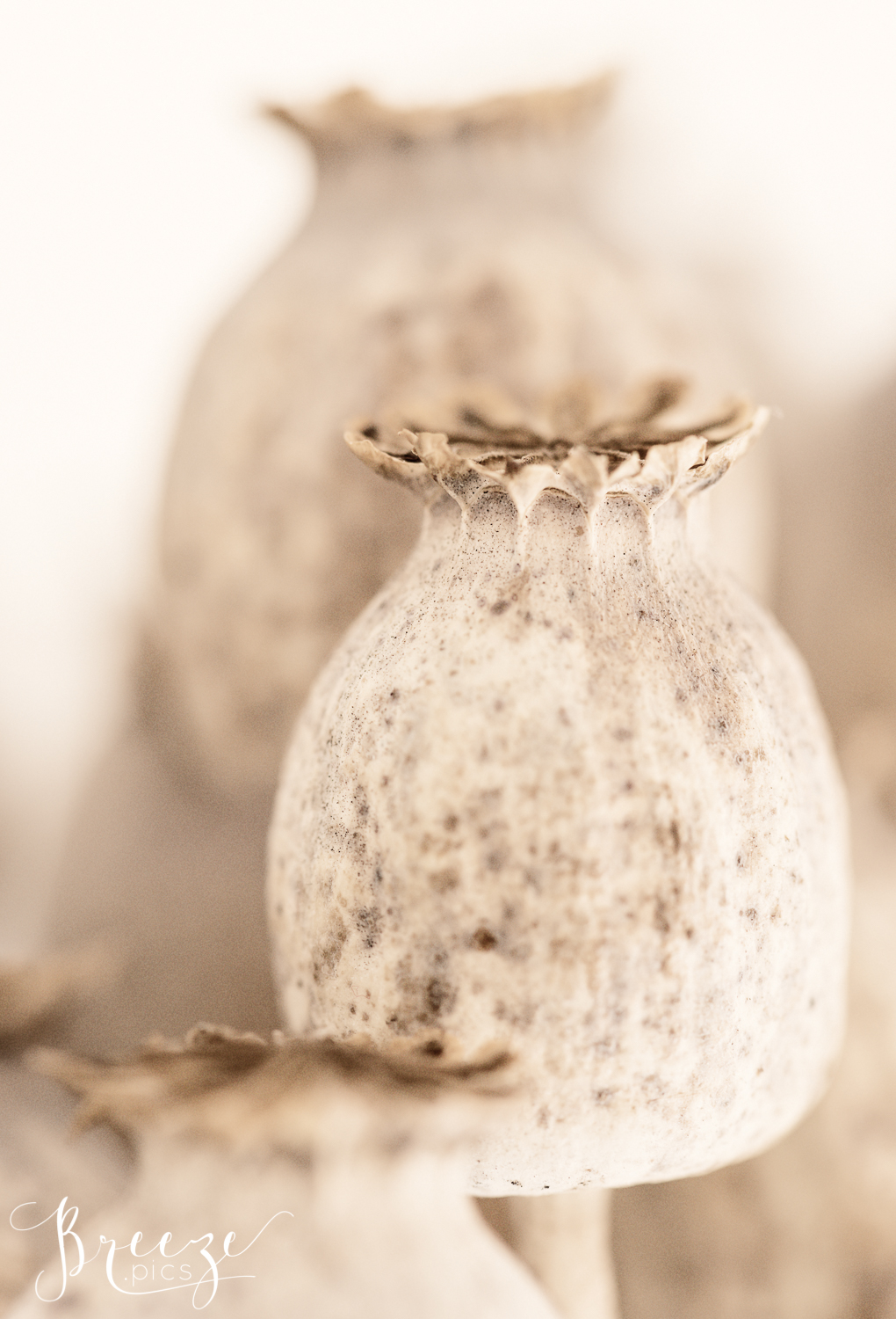 Macro_Poppy_Seedpod_Study3_Colour-2.jpg