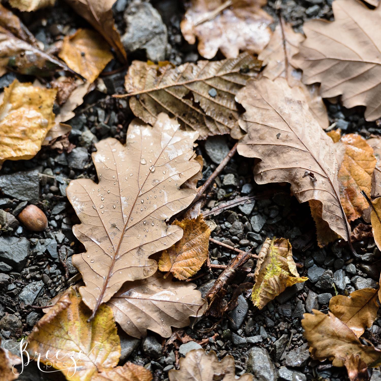 Oak_leaf_with_raindrops.jpg