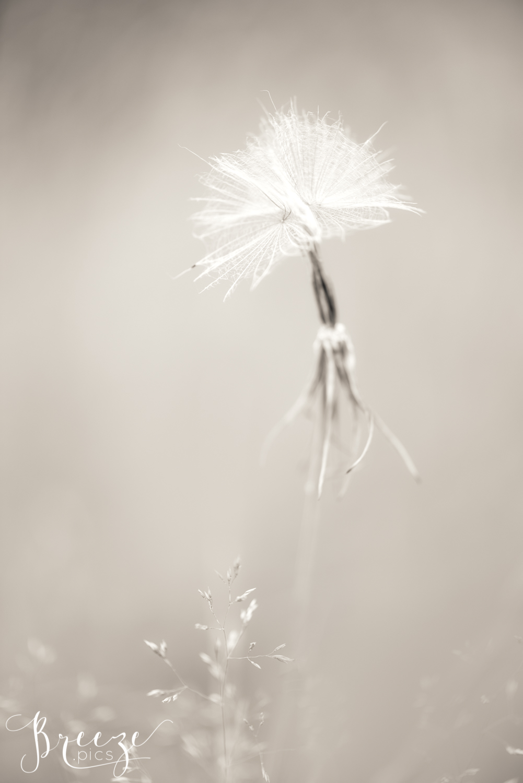 Wispy_Seeds_7.jpg
