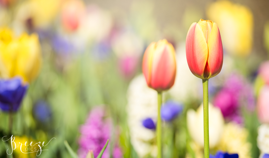 Tulips in Keukenhof Gardens, Netherlands, Holland, Breeze Pics, Bernadette Meyers