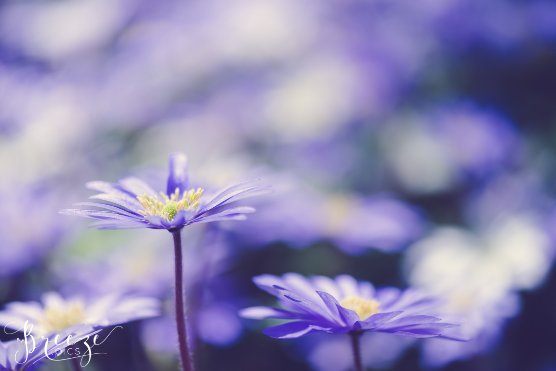 Flowers in Keukenhof Gardens, Netherlands, Holland, Breeze Pics, Bernadette Meyers