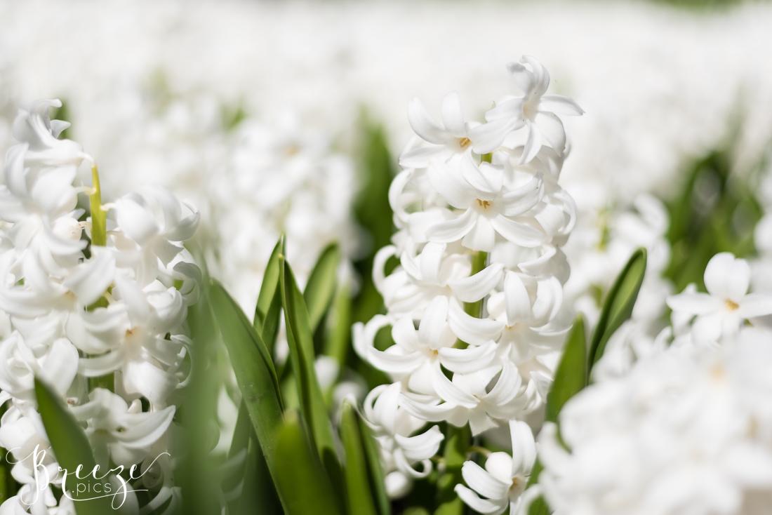 Hyacinths in Keukenhof Gardens, Netherlands, Holland, Breeze Pics, Bernadette Meyers