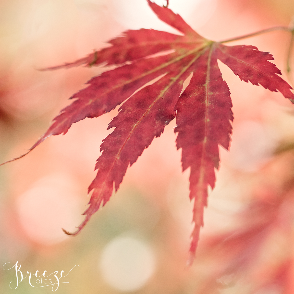 Red Maple Leaf, Macro Nature Photography, Wall Art Decor, Bernadette Meyers