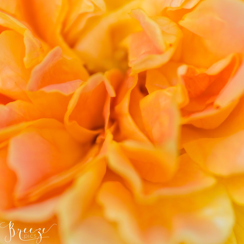 Orange fine art macro photograph, limited edition wall art, Bernadette Meyers, Breeze Pics