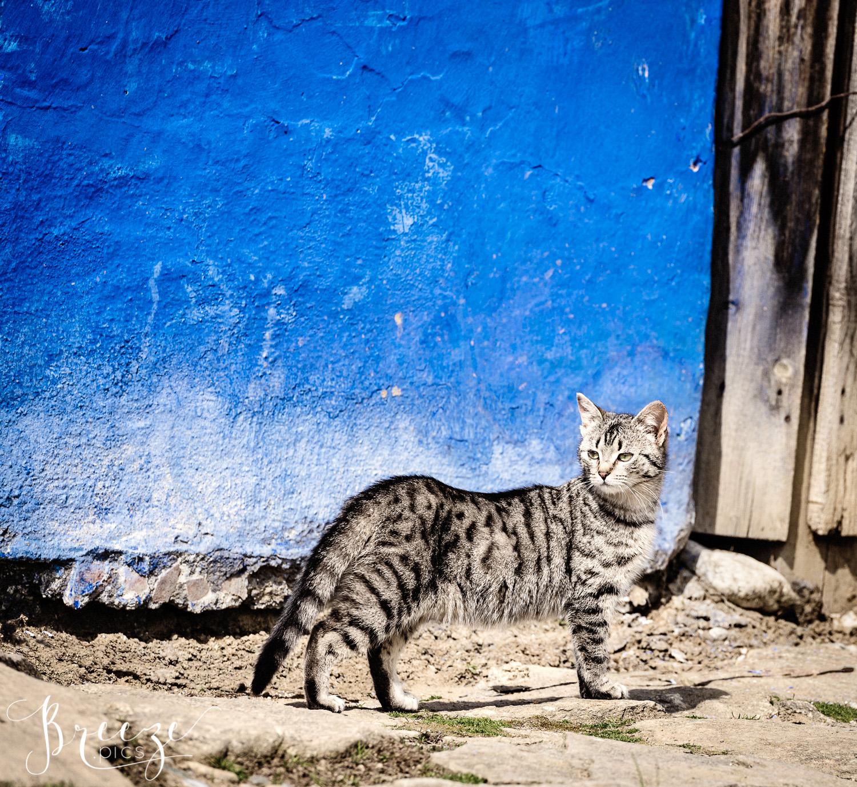 Sibiu_Tabby_Cat_Cobalt_Wall.jpg
