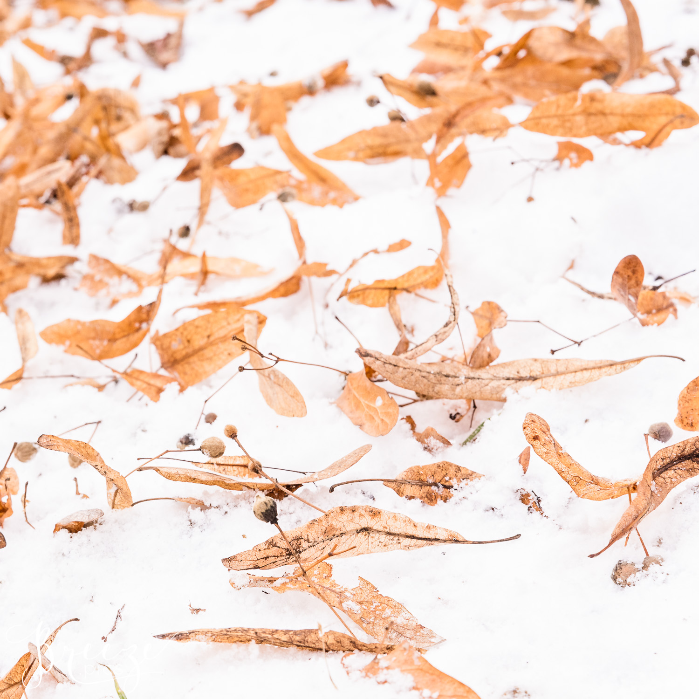 munich seedpods on snow, limited edition fine art print, Breeze Pics