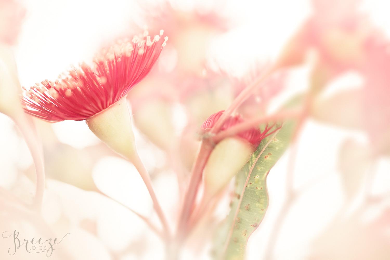eucalyptus blossom limited edition fine art macro photography, home decor print, Breeze Pics