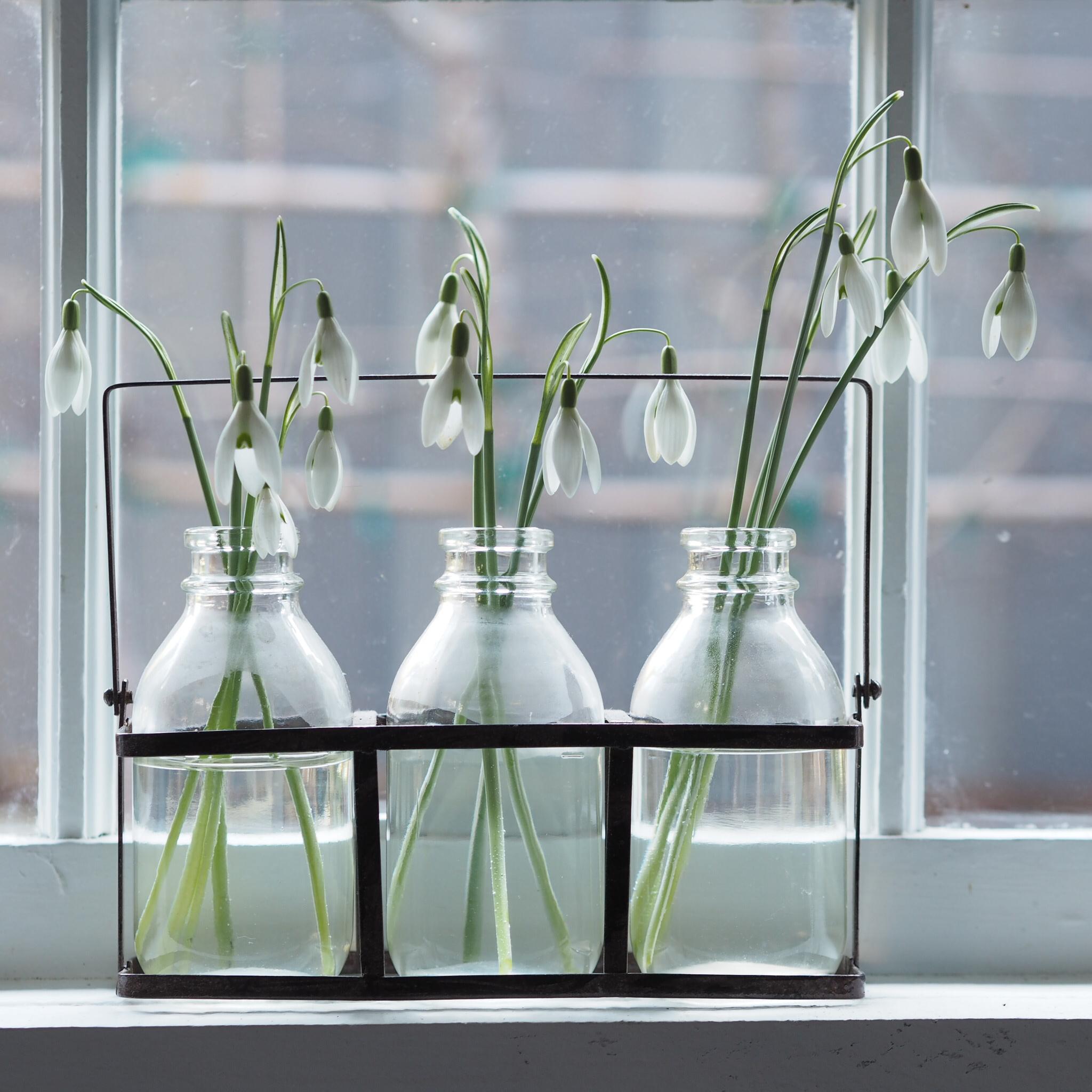 snowdrops in vases