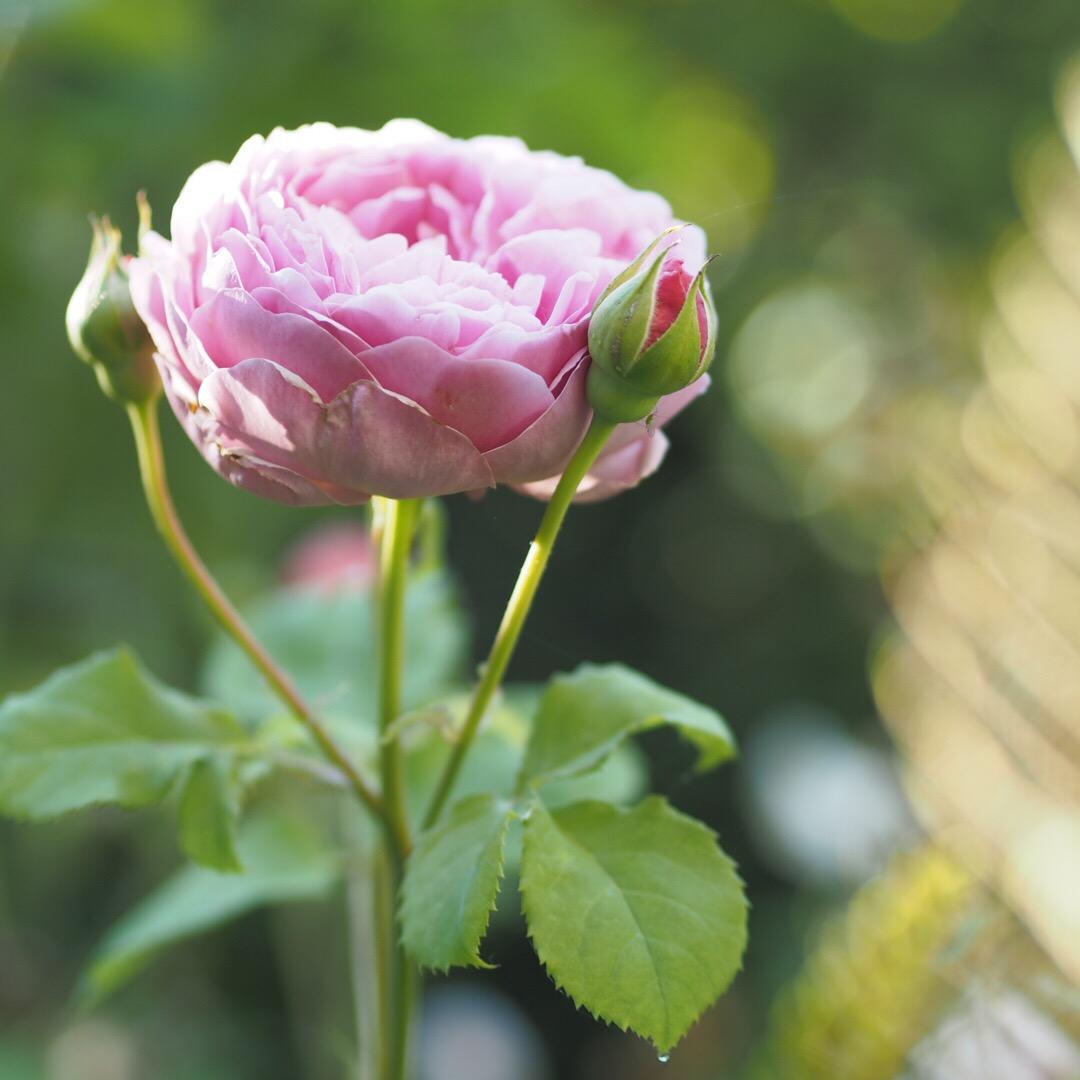 Gertrude Jekyl rose