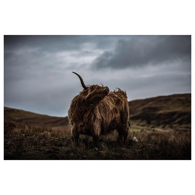 Highland Cows, Skye: Scotland . . . . . #scotland #hiddenscotland #skye #trappingzones #outside_project #wonderful_places #wildernesstones #moodygrams #visitscotland #scotspirit #lensbible #isleofskye #isleofskyescotland #isleofskyeofficial