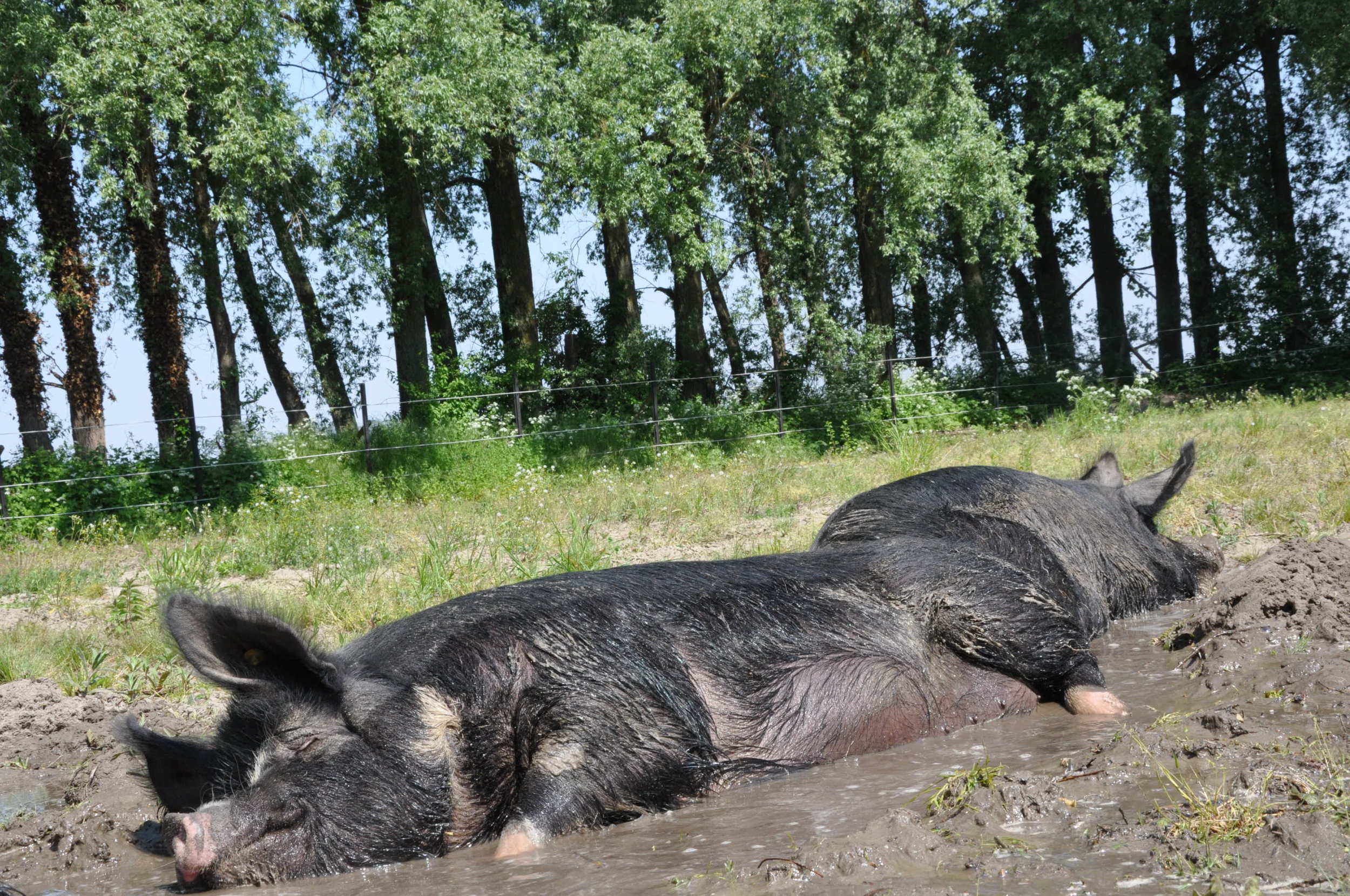 Lekker rollen in de modder – Foto: 't Geheim van Bergen