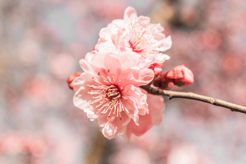 plum-blossom-stockton