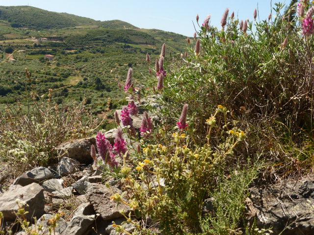 WILD FLORA IN THE GREEK ISLANDS