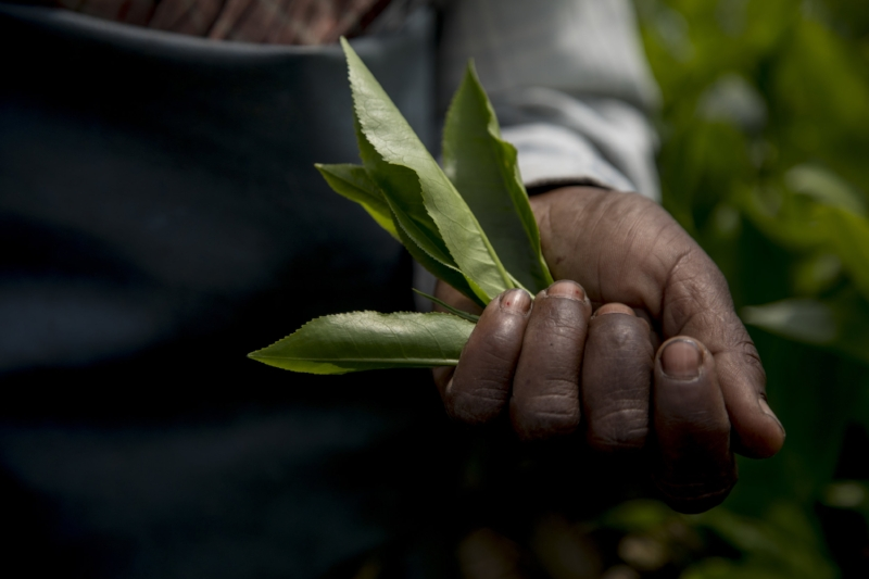 226A7662 tea leaves in hand.jpg