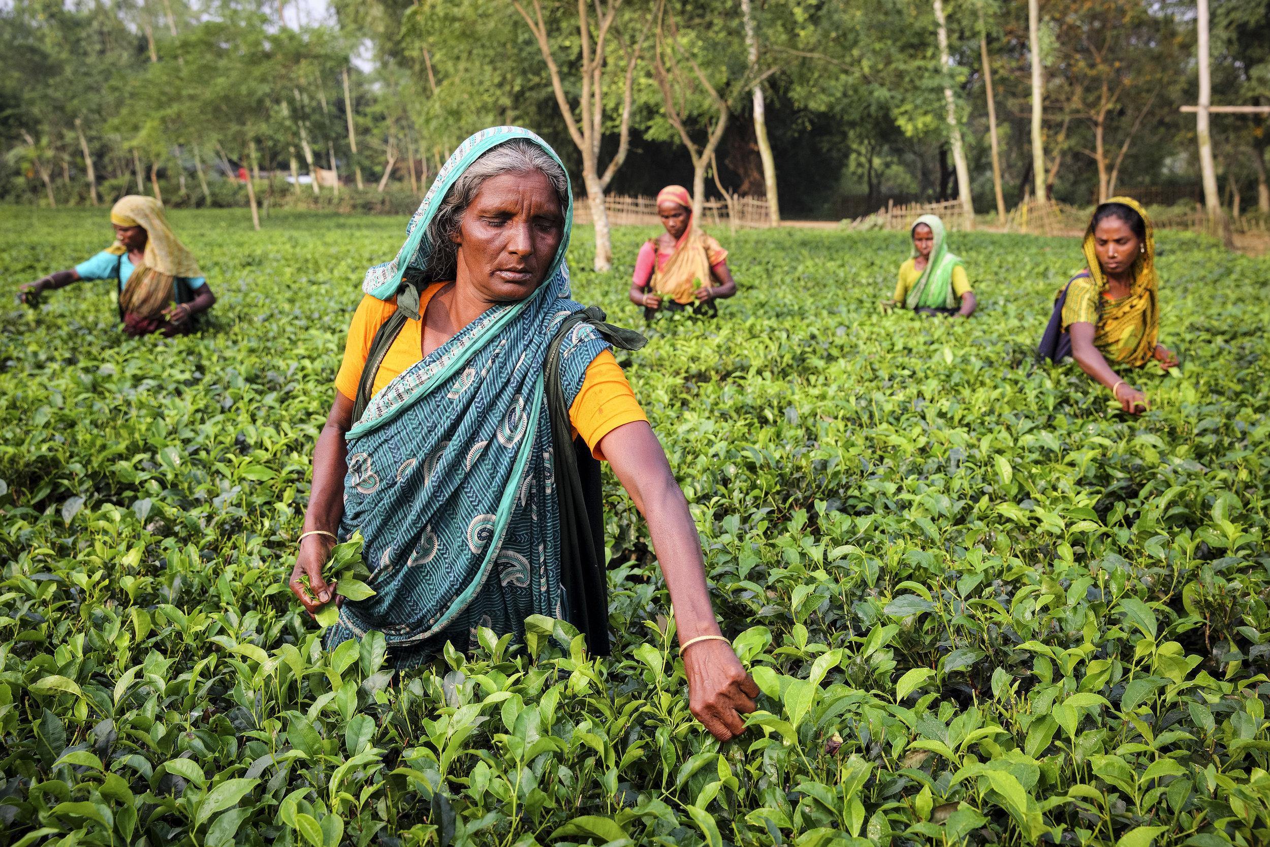 Jamiron, who took part in Traidcraft Exchange's EqualiTea project in Bangladesh, working in a tea garden. Credit: Traidcraft Exchange/GMB Akash