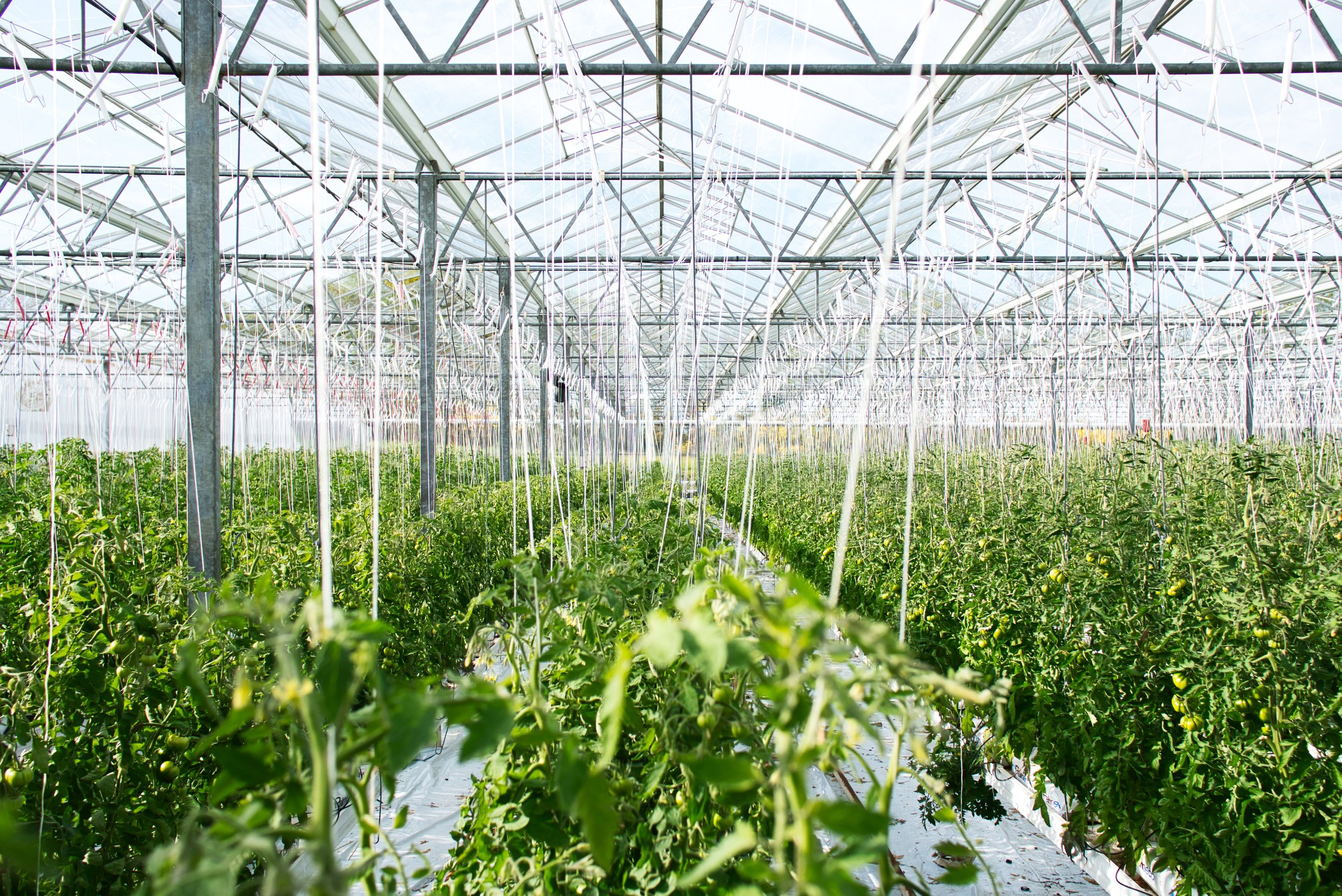 Tomato production in a greenhouse in France. Credit: Erwan Hesry