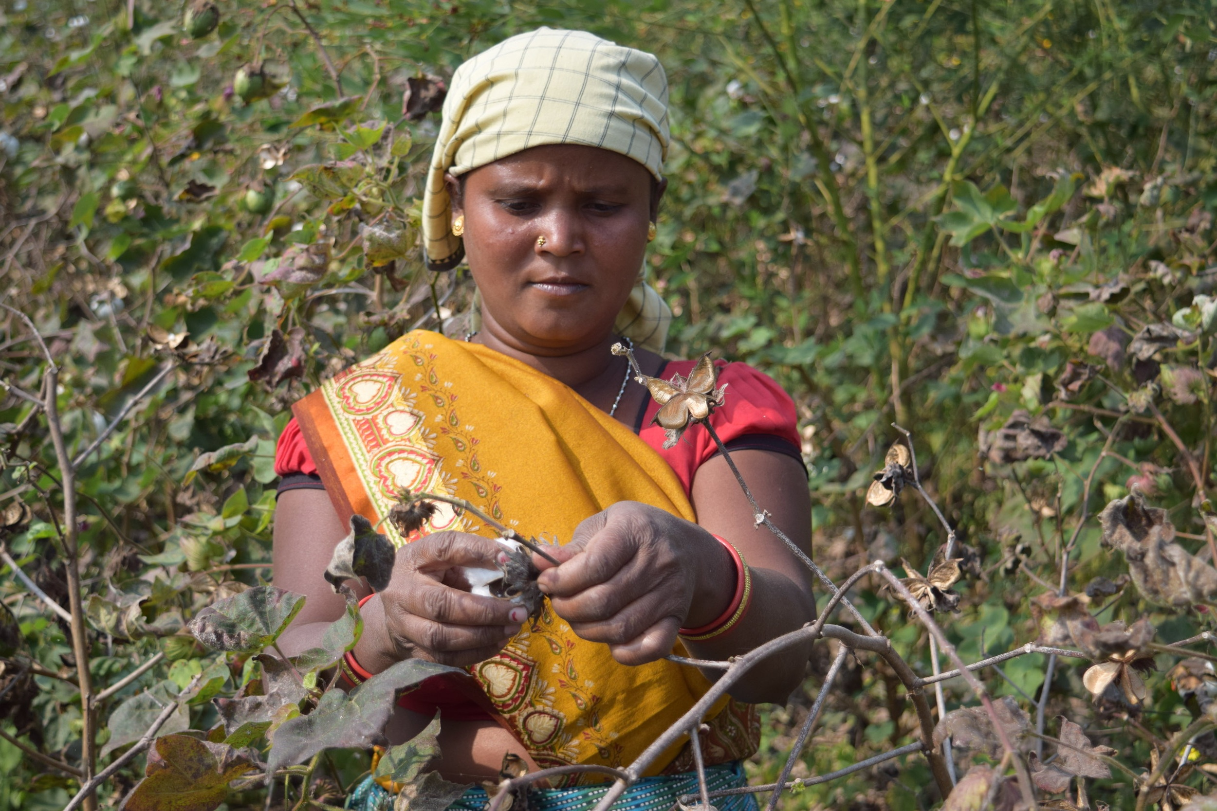 - Cotton farmer Bharati picking cotton on her farm.Credit: Traidcraft Exchange/Roderick Stuart