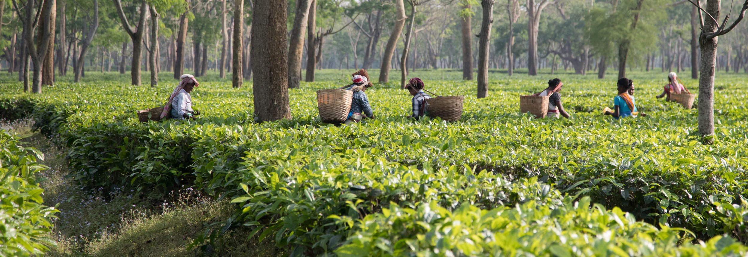 Tea workers picking tea in Assam. Credit: HELM Studio