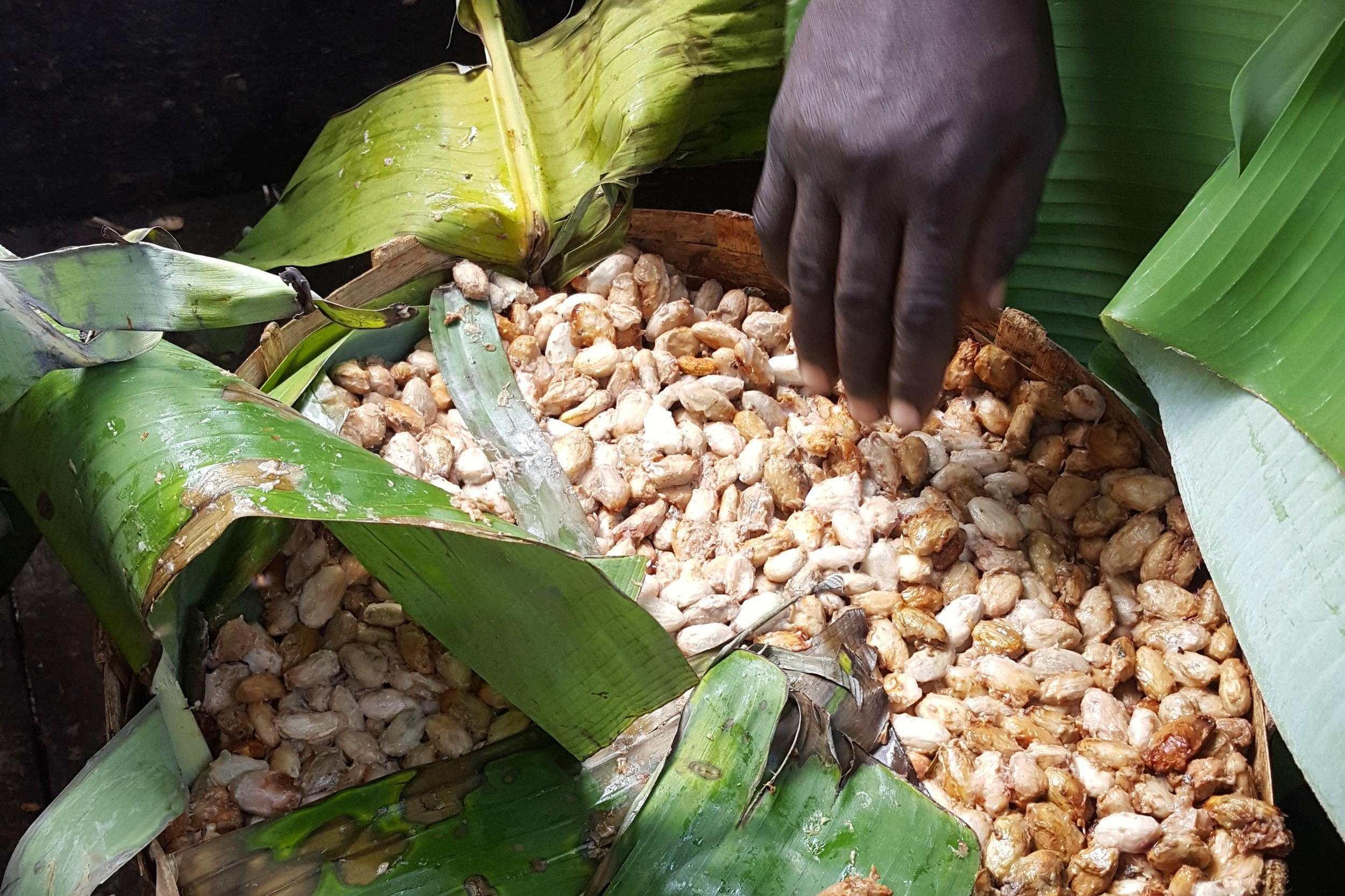 - Fermenting cocoa beans in banana leaves. Credit: Traidcraft Exchange/Catherine Gunby