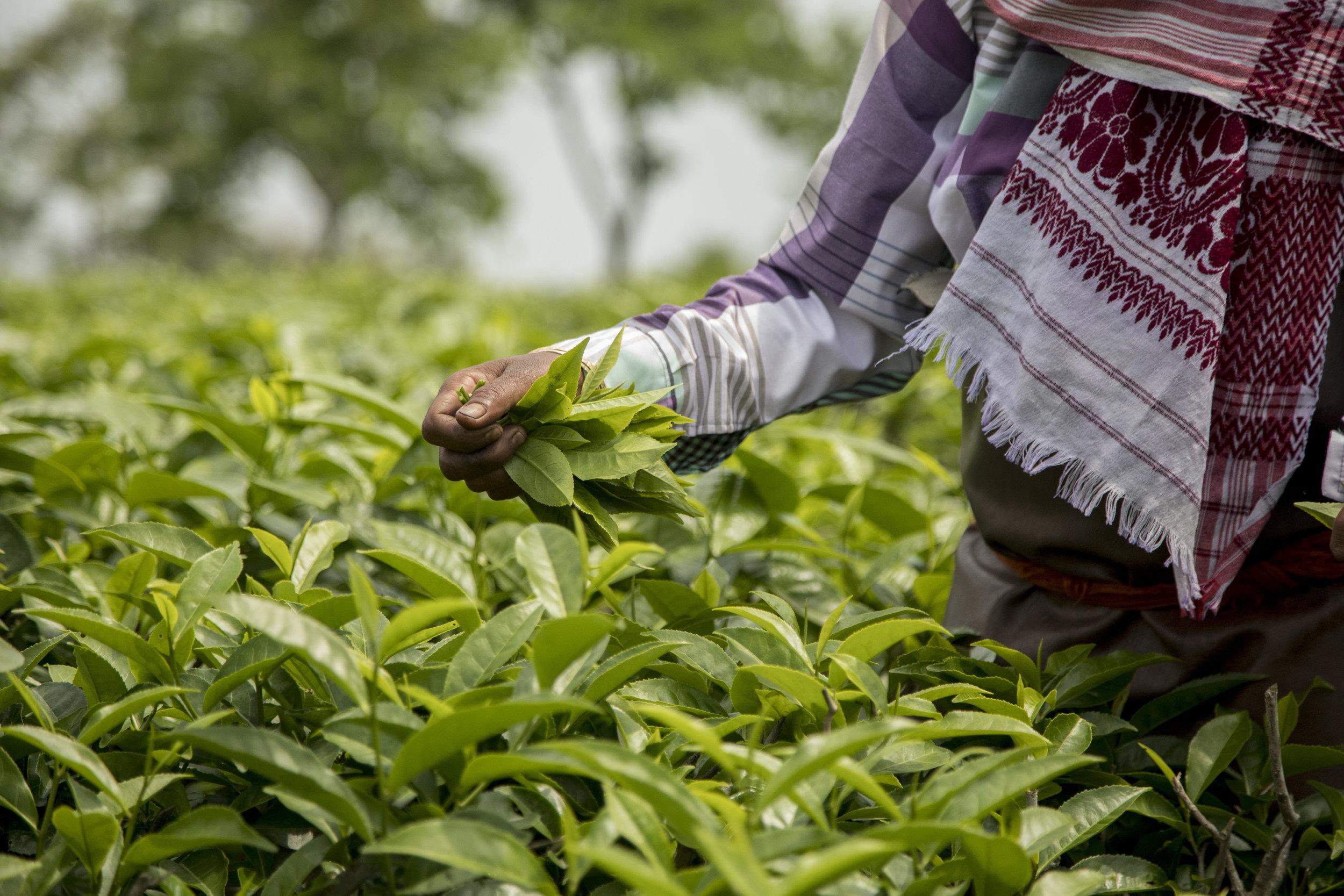 226A7627 tea picking.jpg