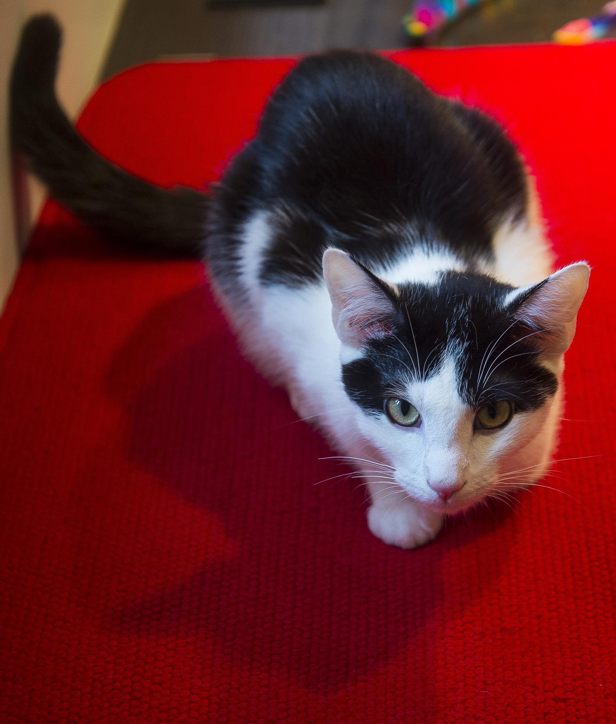 Konekohypercat.jpg