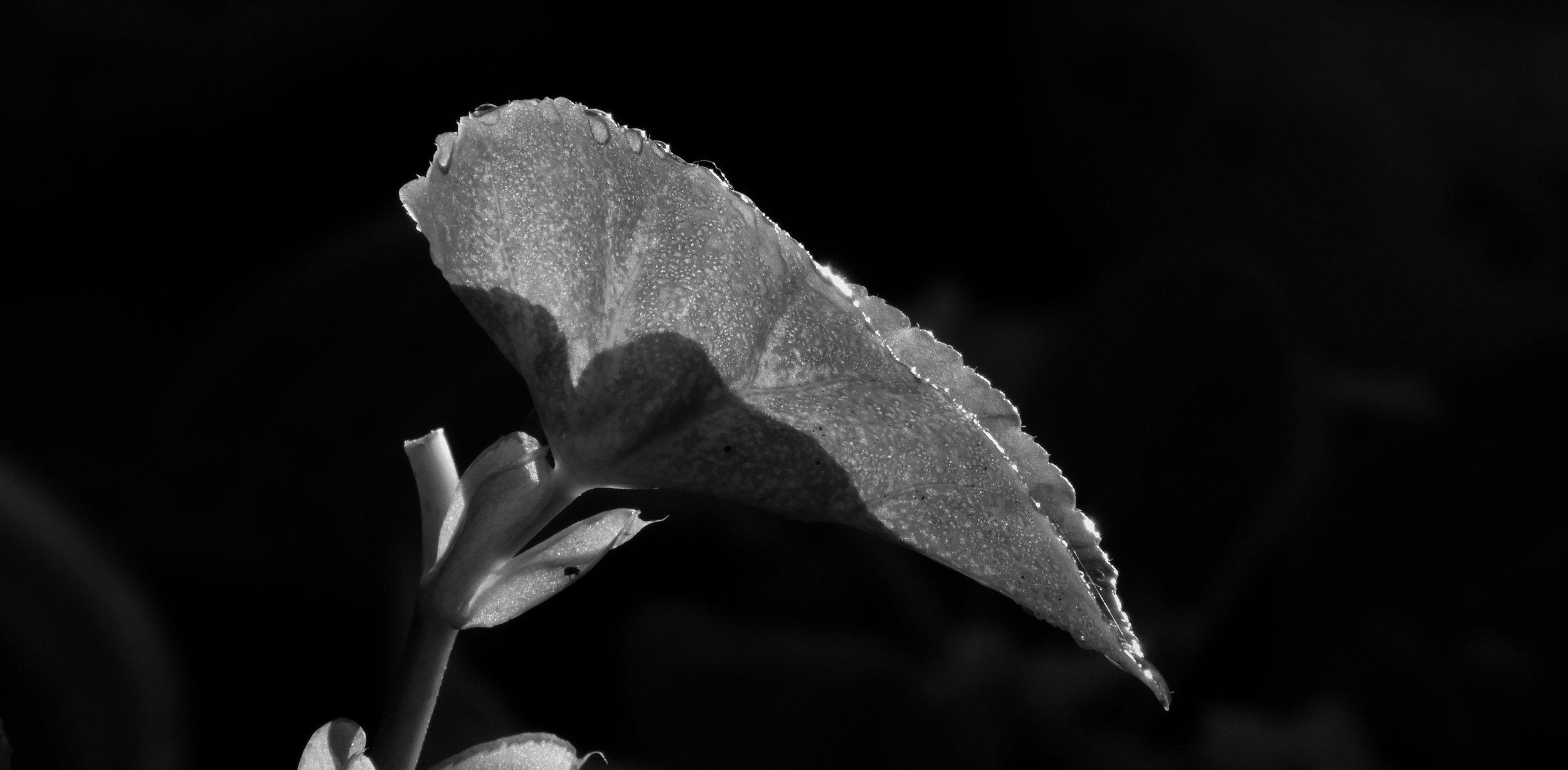 Armenia garden black and white leaf
