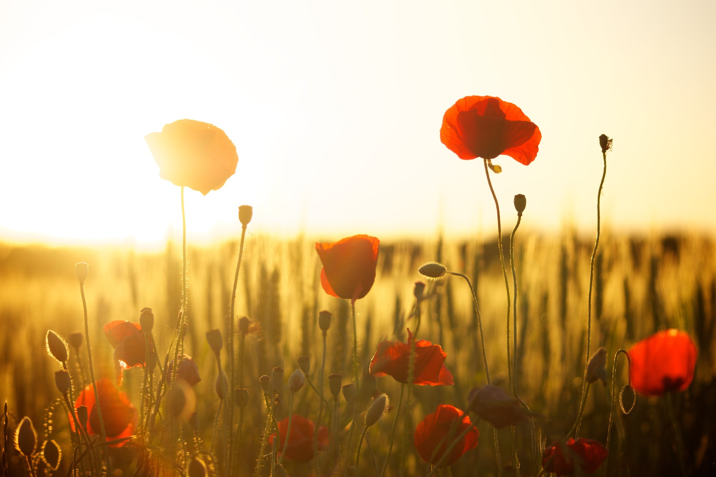 Field of poppies in sunset