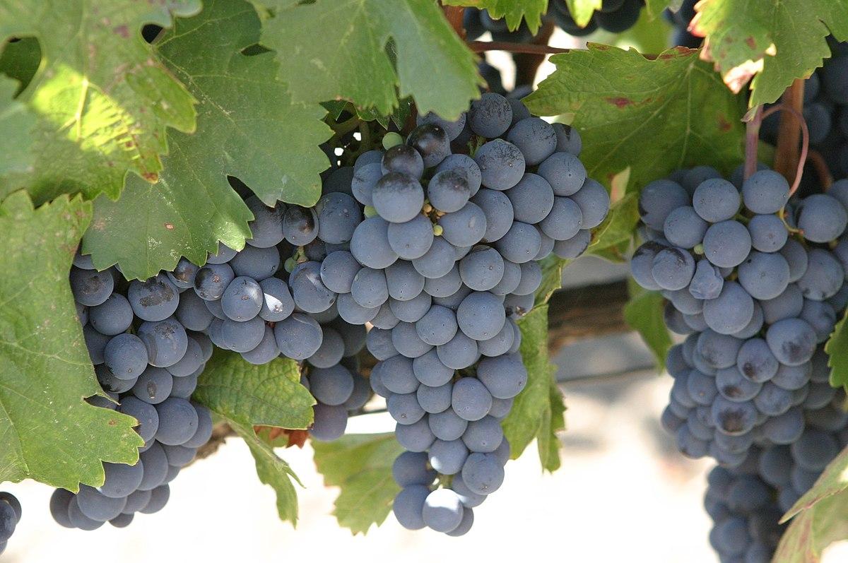 malbec-grapes-argentina