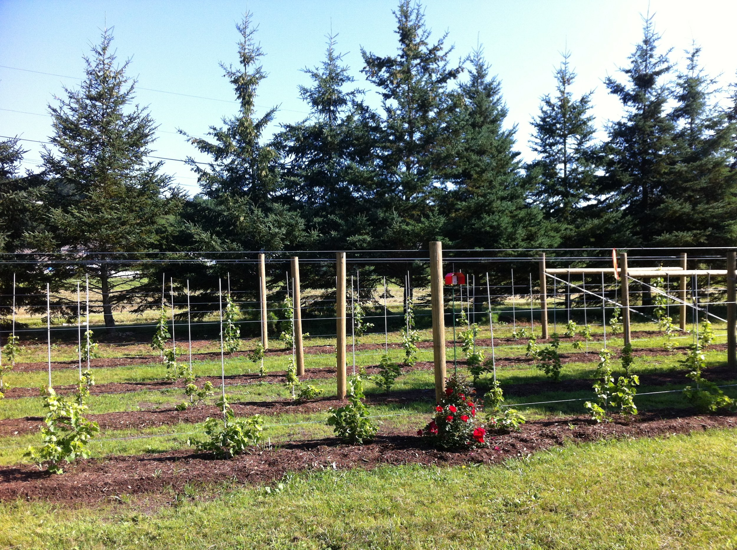 High-density trellising to support Marquette grape vines and Honeycrisp and Fuji dwarf apple trees. -
