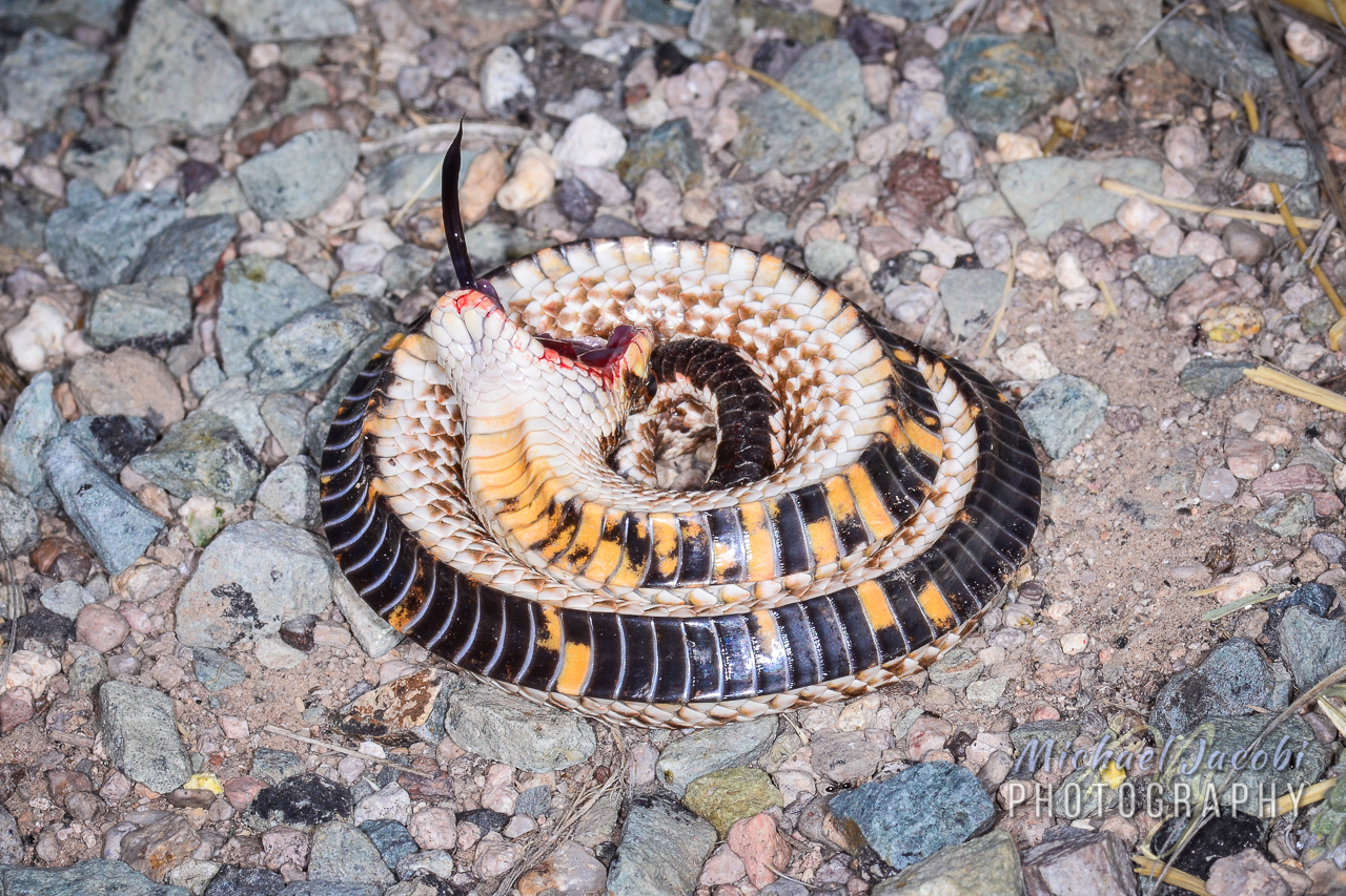 A Mexican Hog-nosed Snake feigns death