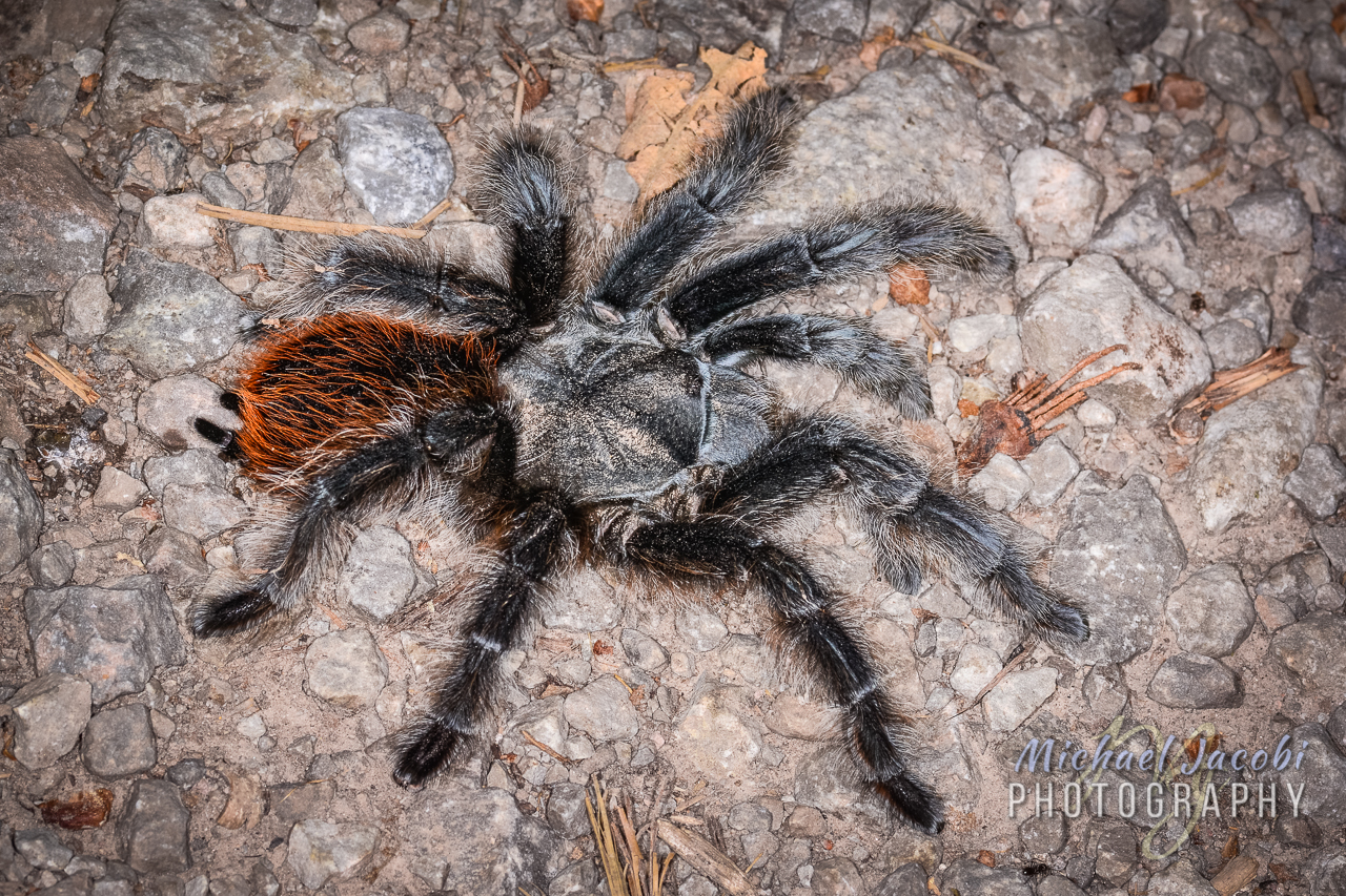 Aphonopelma marxi , near Cherry Creek, Grant County, New Mexico