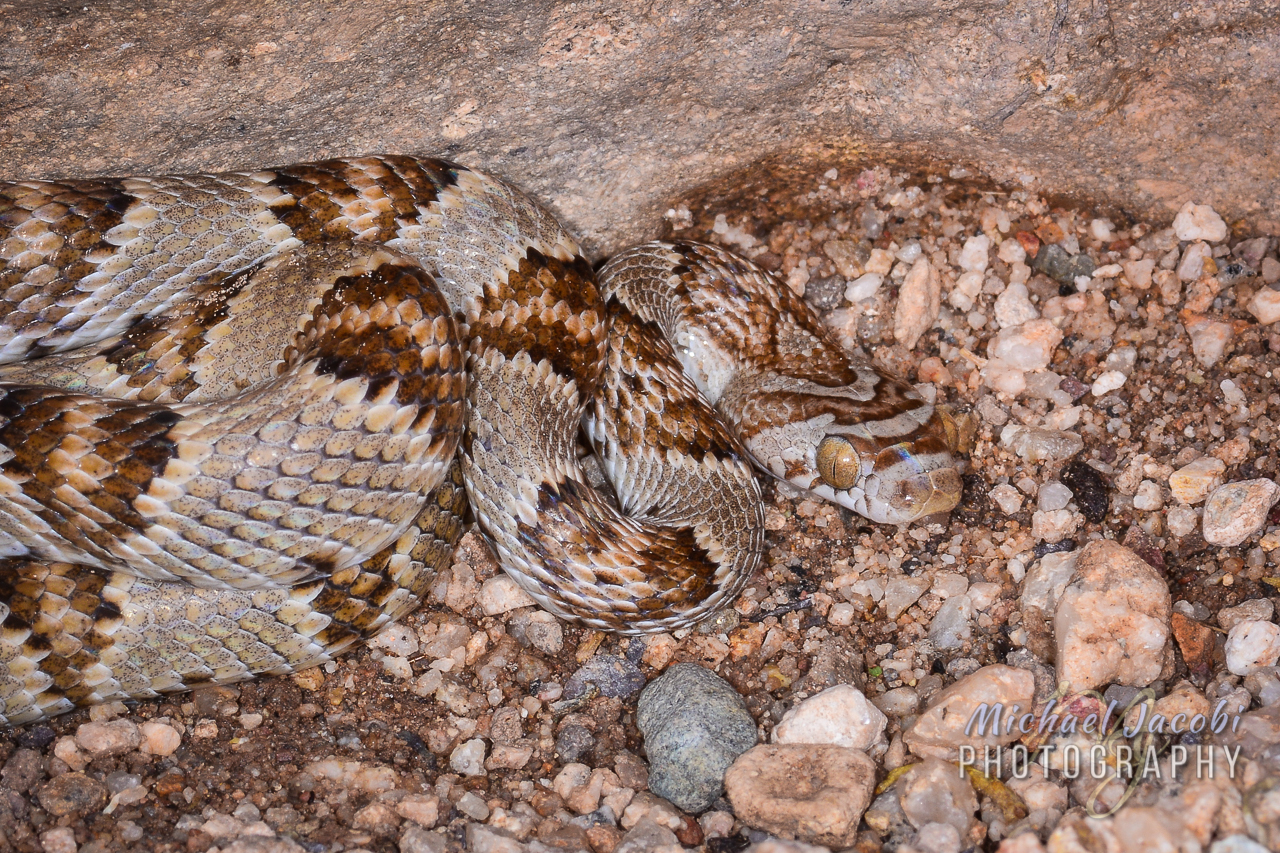 Trimorphodon lambda , Sonoran Lyre Snake, Hidalgo County, New Mexico. Found near the Chiricahua Desert Museum during the 40th International Herpetological Symposium