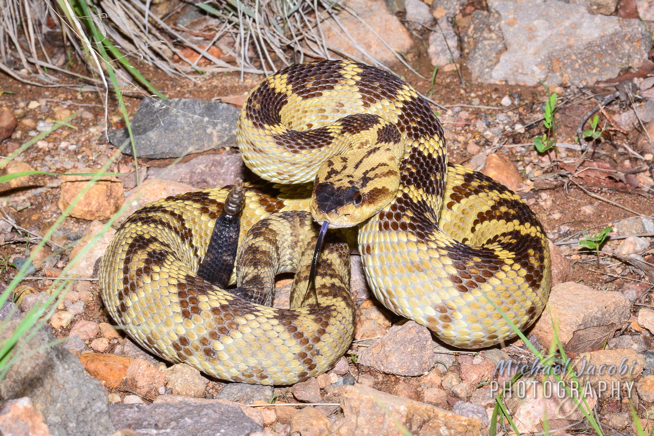 Crotalus molossus , Western Black-tailed Rattlesnake