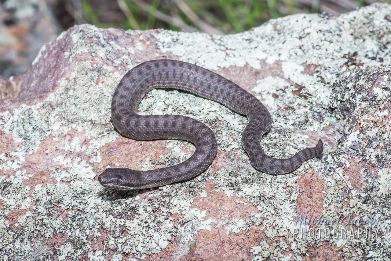 Crotalus pricei  (Twin-spotted Rattlesnake)