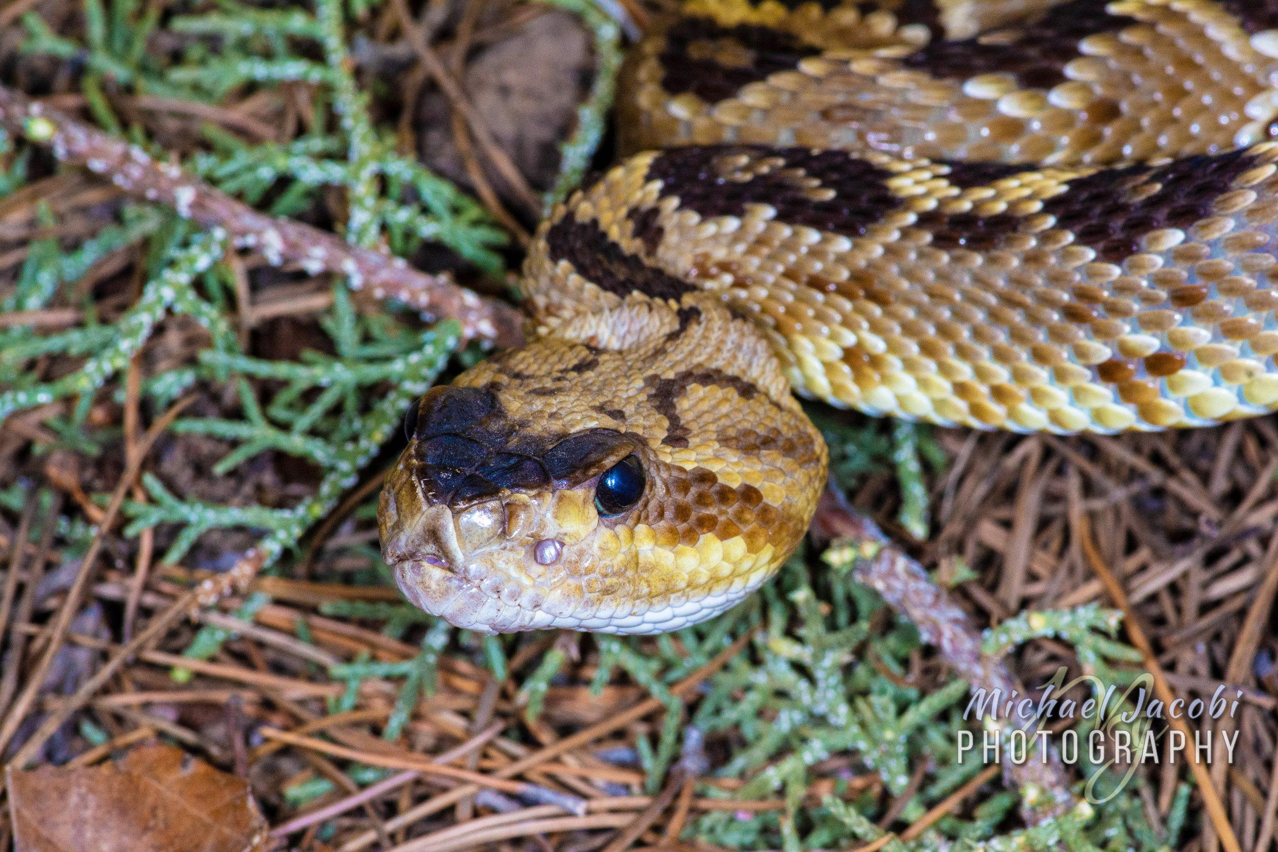 Western Black-tailed Rattlesnake ( Crotalus molossus ), Chiricahua Mountains