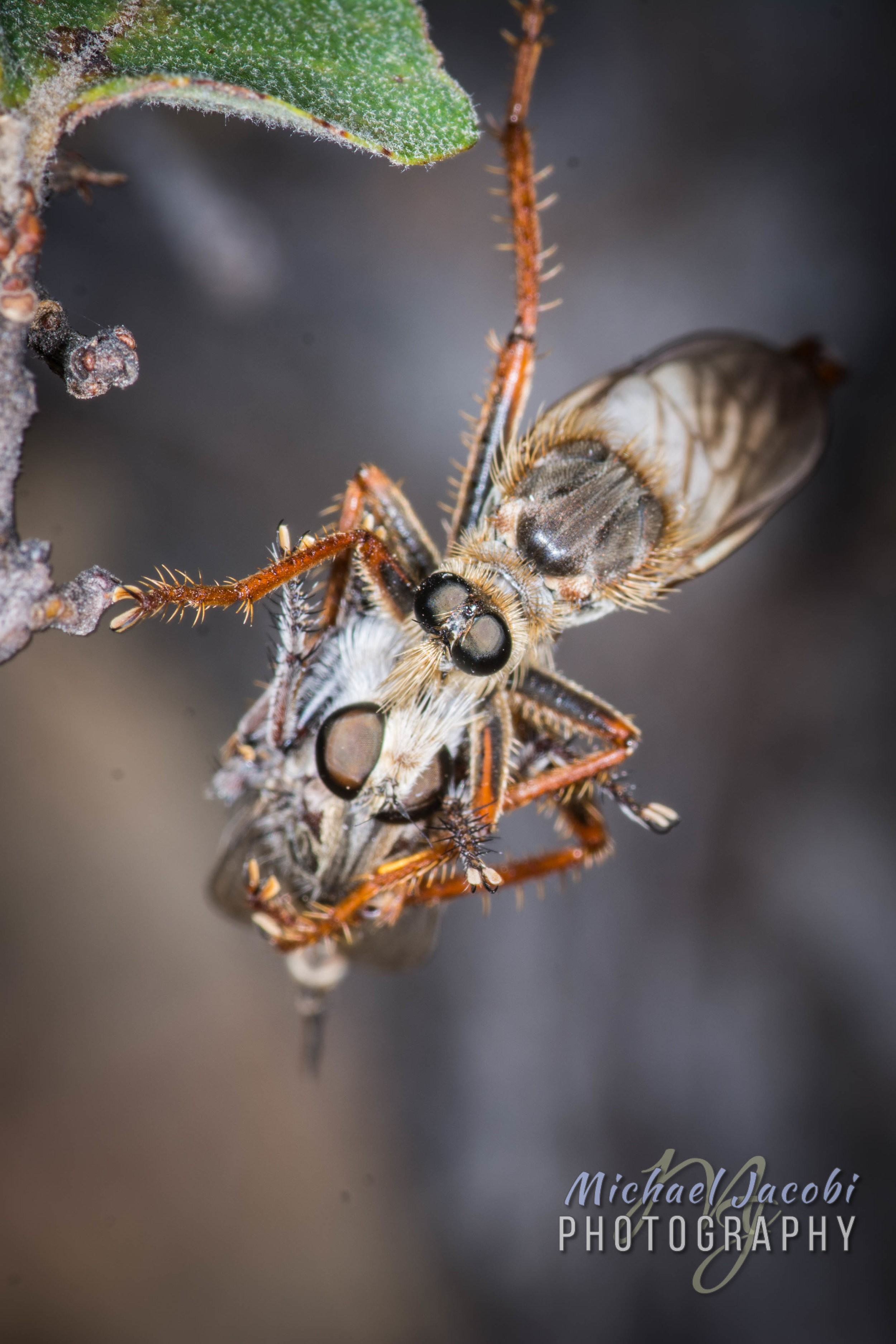 One type of robber fly devours a different species of robber fly