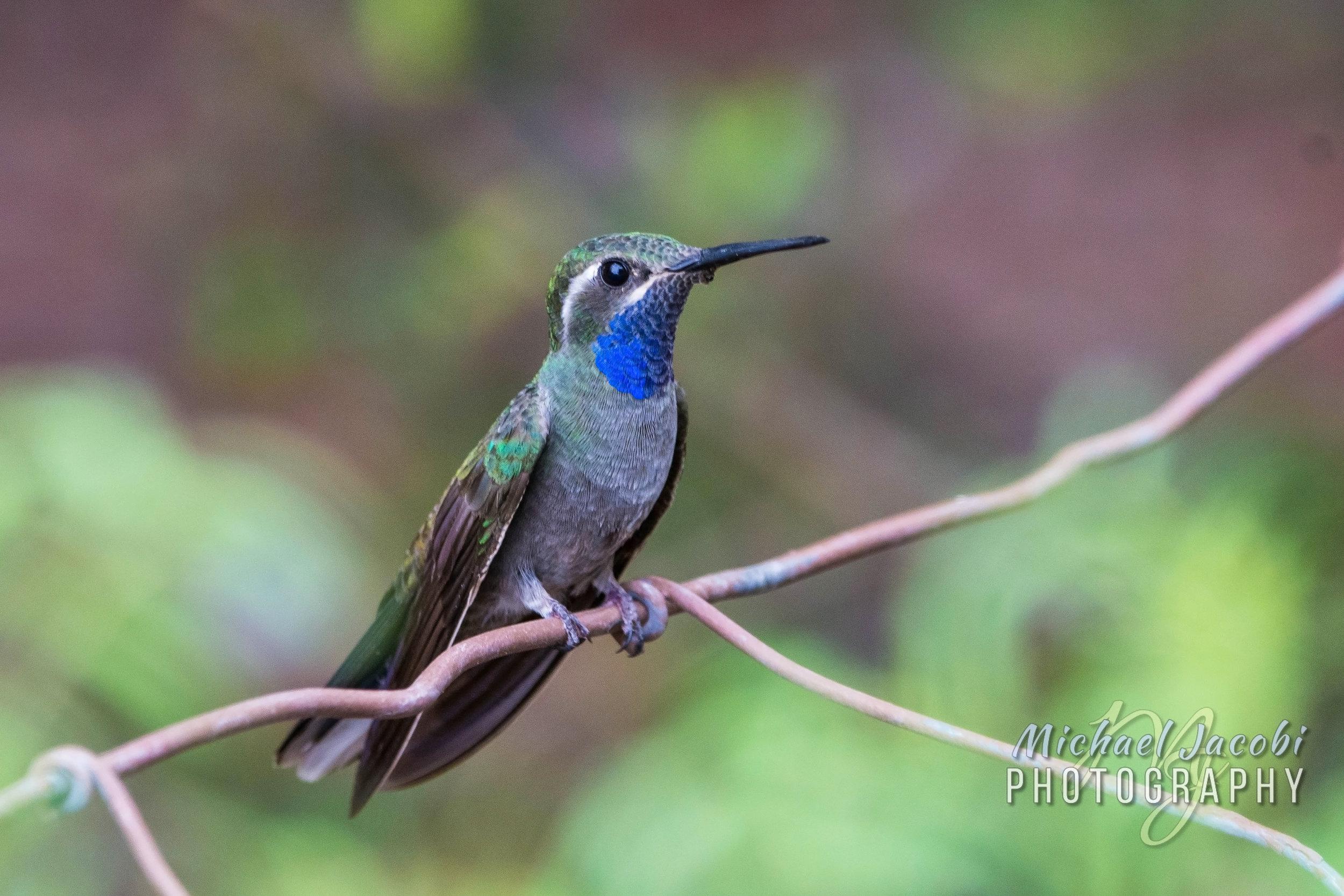 Blue-throated Hummingbird, Cave Creek Canyon