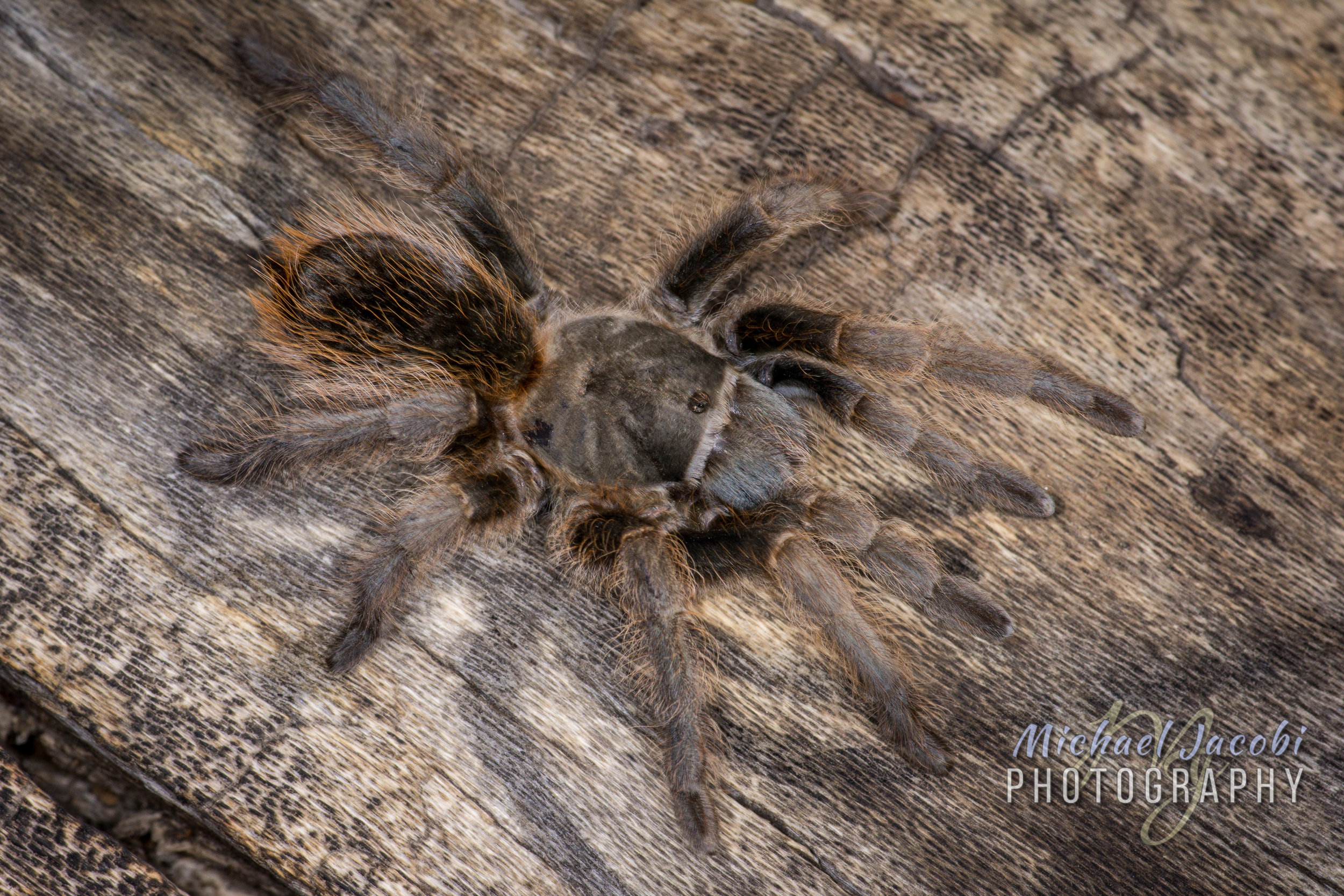 Aphonopelma chiricahua , 5645 ft., Chiricahua Mountains, Cochise Co., Arizona