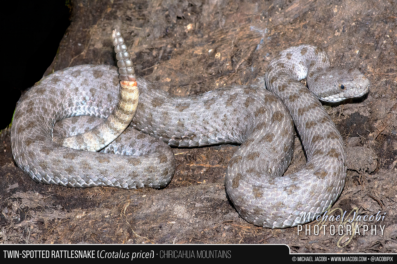 Crotalus_pricei_graphic_1366px.jpg