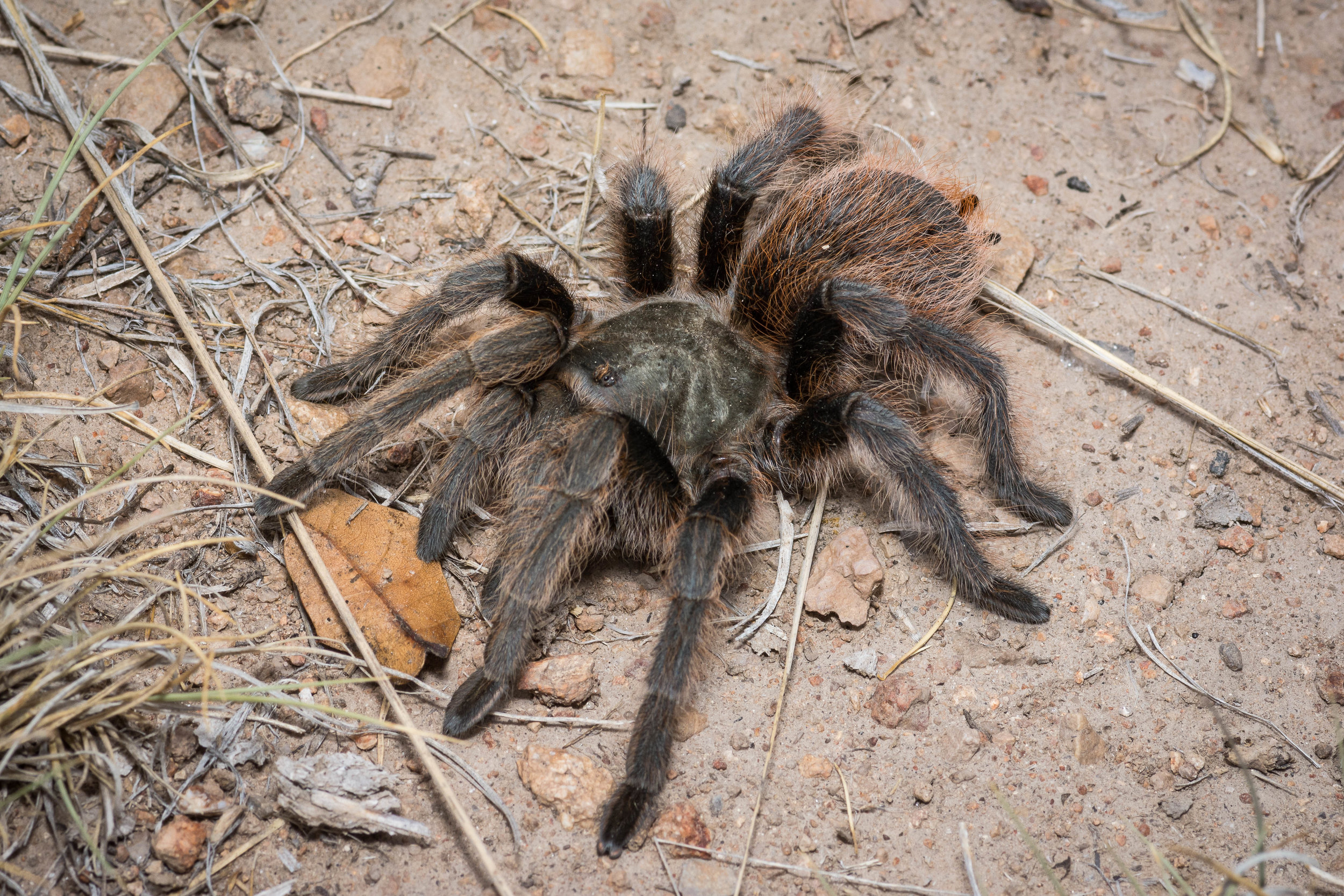 Aphonopelma peloncillo , Peloncillo Mountains, Hidalgo Co., New Mexico