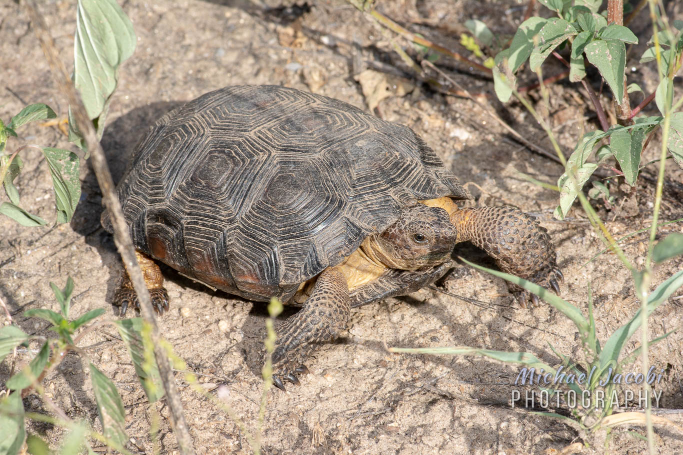 Morafka's or Sonoran Desert Tortoise ( Gopherus morafkai ), Pima County, Arizona