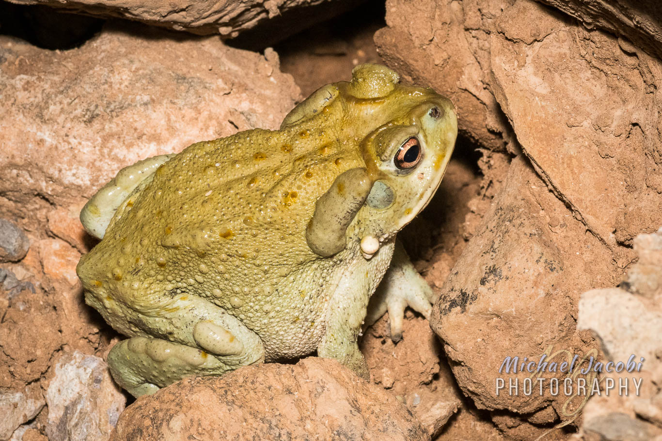 Sonoran Desert Toad ( Incilius alvarius ), one of several from my Old Sasco Road adventure.