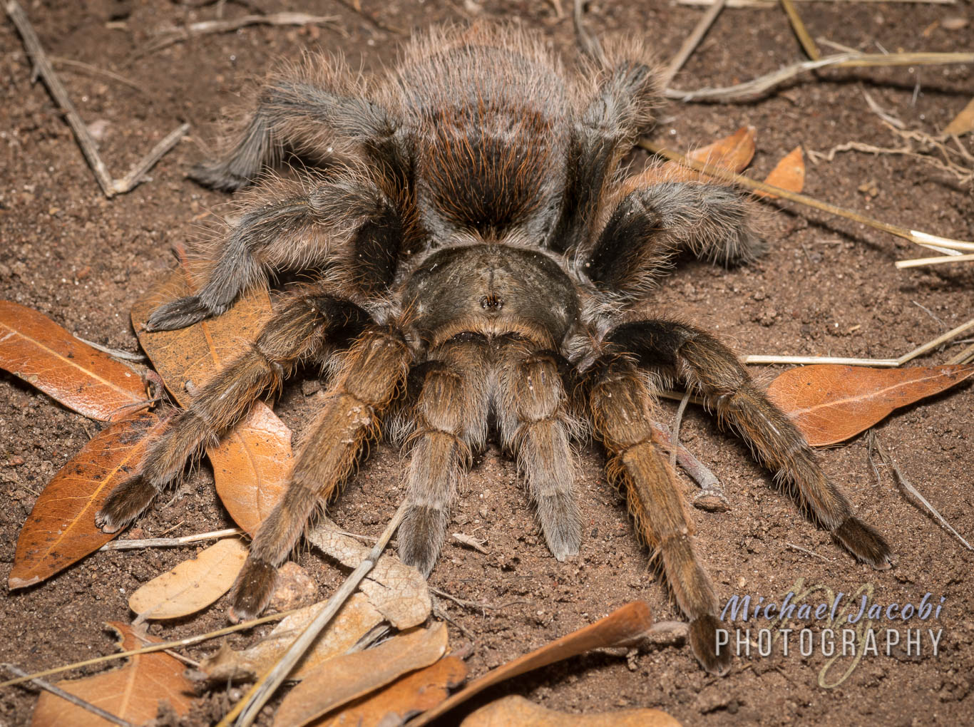 Aphonopelma peloncillo , a Peloncillo Mountains endemic
